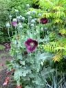 Lauren's Grape Poppies- indispensible in the garden